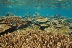 Подводное состояние Океания кораллового рифа здоровое Стоковые Изображения