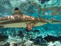 Подводные акулы и твари моря в Moorea Таити Стоковая Фотография