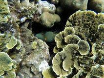 Подводный ландшафт с зелеными и желтыми кораллами и striped прятать рыб Стоковое фото RF