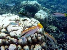 Подводный ландшафт с красочным wrasse рыб Аквариум в одичалой природе Стоковые Изображения RF
