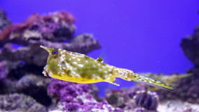 Подводный взгляд желтого boxfish акции видеоматериалы