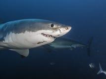 Подводный взгляд островов южной Австралии больших Нептуна белой акулы Стоковое фото RF