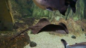 Подводный взгляд с хвостоколовым видеоматериал