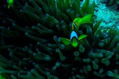 Подводный сад коралла с ветреницей и пара желтых clownfish Стоковые Изображения