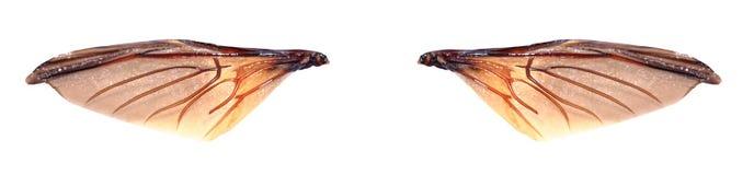 Подгоните жука драгоценности или металлического взгляд сверху i Древесин-расточкой (Buprestid) Стоковые Изображения