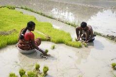 Подготавливать рисовые поля Стоковая Фотография