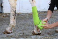 Подготовка и размещение зеленой повязки на задней ноге белой лошади стоковая фотография rf