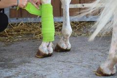 Подготовка и размещение зеленой повязки на anterior ноге белой лошади стоковые фотографии rf