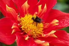подготовляет красный цвет цветков георгина естественный Стоковая Фотография RF