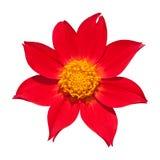 подготовляет красный цвет цветков георгина естественный Стоковое Фото