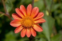 подготовляет красный цвет цветков георгина естественный Стоковые Изображения RF
