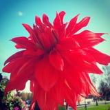 подготовляет красный цвет цветков георгина естественный Стоковые Фотографии RF