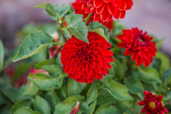 подготовляет красный цвет цветков георгина естественный Стоковые Изображения