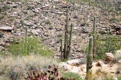 подготовляет saguaro entwined кактусом Стоковые Изображения