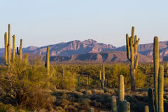 подготовляет saguaro entwined кактусом Стоковое Изображение