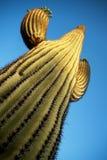 подготовляет saguaro entwined кактусом Стоковое Изображение RF