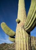подготовляет saguaro entwined кактусом Стоковые Фото