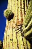 подготовляет saguaro entwined кактусом Стоковые Изображения RF