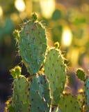 подготовляет saguaro entwined кактусом Стоковое фото RF
