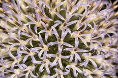 Полевой цветок бледного фиолета Стоковые Изображения