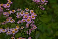 Полевой цветок маргаритки Erigeron - белый и розовый - космос для текста Стоковая Фотография
