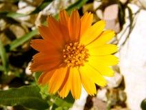 Полевой цветок Стоковое Изображение