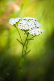 Полевой цветок millefolium Achillea (тысячелистника обыкновенного) белый Стоковые Изображения