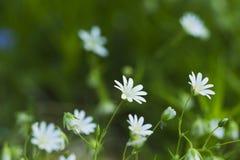 Полевые цветки весны, первоцветы Стоковые Фото