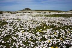 Полевые цветки весны Стоковое Изображение