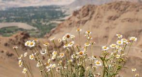 Полевые цветки в Гималаях Стоковое Изображение RF