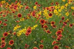 Полевые цветки в полях южного Техаса Стоковое Фото