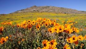 Полевые цветки в Namaqualand, Южной Африке Стоковые Изображения RF
