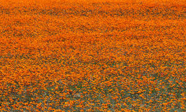Полевые цветки в Namaqualand, Южной Африке стоковая фотография rf