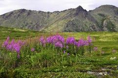 Полевые цветки горы Стоковая Фотография RF