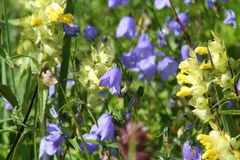 Полевые цветки, живая природа северная Стоковая Фотография