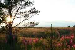 Полевые цветки, живая природа северная Стоковые Изображения