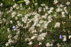 Полевые цветки, живая природа северная Стоковые Фото
