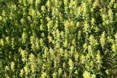 Полевые цветки, живая природа северная Стоковая Фотография RF