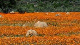 Полевые цветки и anthills в Namaqualand, Южной Африке стоковое фото