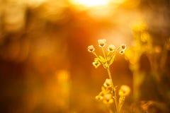 Полевые цветки маргаритки в заходе солнца Стоковое Изображение RF