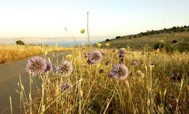 Полевые цветки, море Галилеи Северный Израиль Стоковая Фотография RF