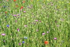 Полевые цветки фиолетовые Стоковые Изображения RF