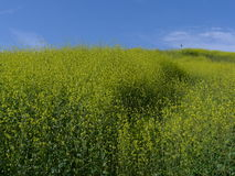 Полевые цветки Aliso Viejo CA США холма змея Стоковая Фотография