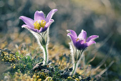 Полевые цветки Pasque зацветая в весеннем времени Стоковое фото RF