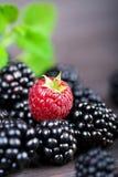 Поленика и ежевика ягоды с пиперментом лист Стоковые Фото
