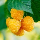 Поленики Растущий органический крупный план ягод зрело стоковая фотография