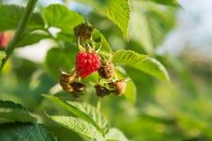 Поленики ягод висят на кусте, зрелых ягодах Стоковое Фото