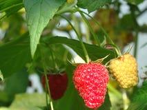 Поленики ягод в саде около дома Стоковая Фотография