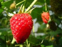 Поленики ягод в саде около дома Стоковые Фотографии RF