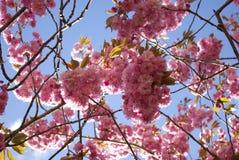 Под деревом вишневого цвета, множественные цветки Стоковые Фотографии RF